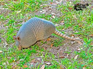 Armadillo Removal in The Villages