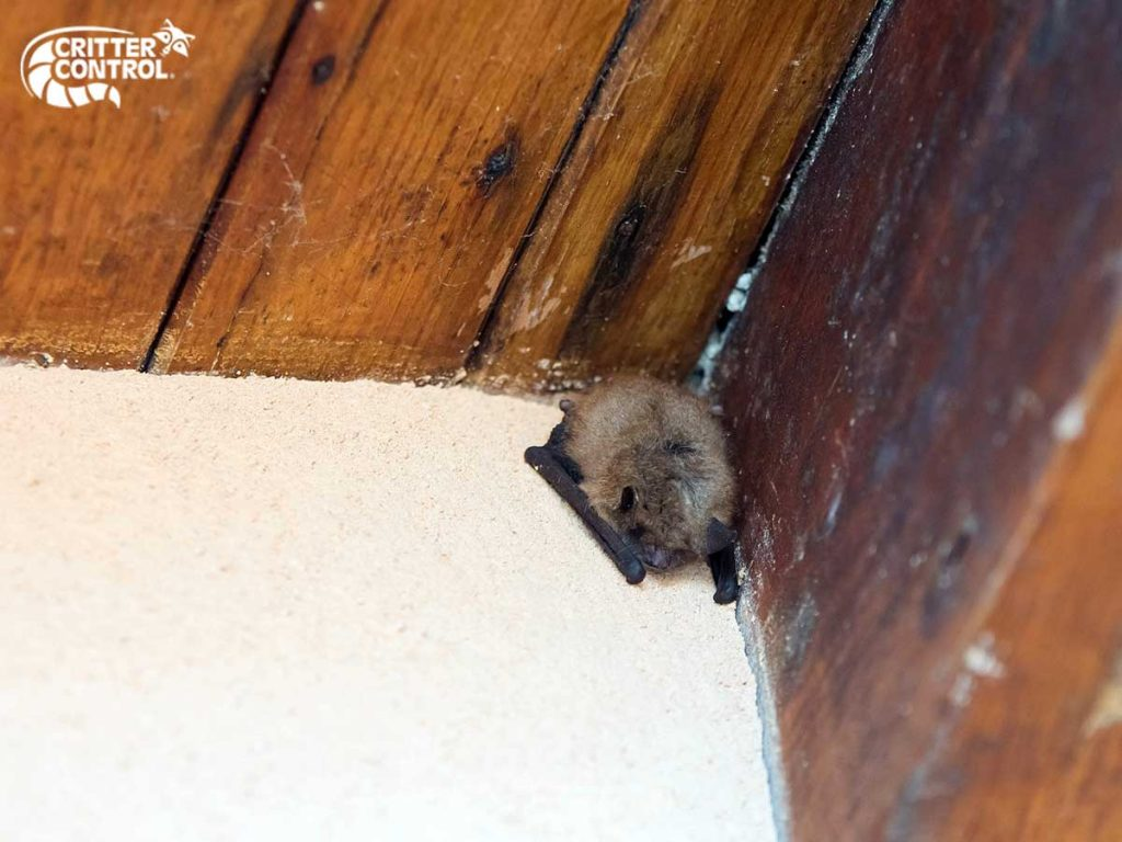 What Should I Do If I Find Bats In My Attic?