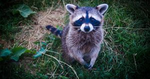 Close up photo of a raccoon on the grass
