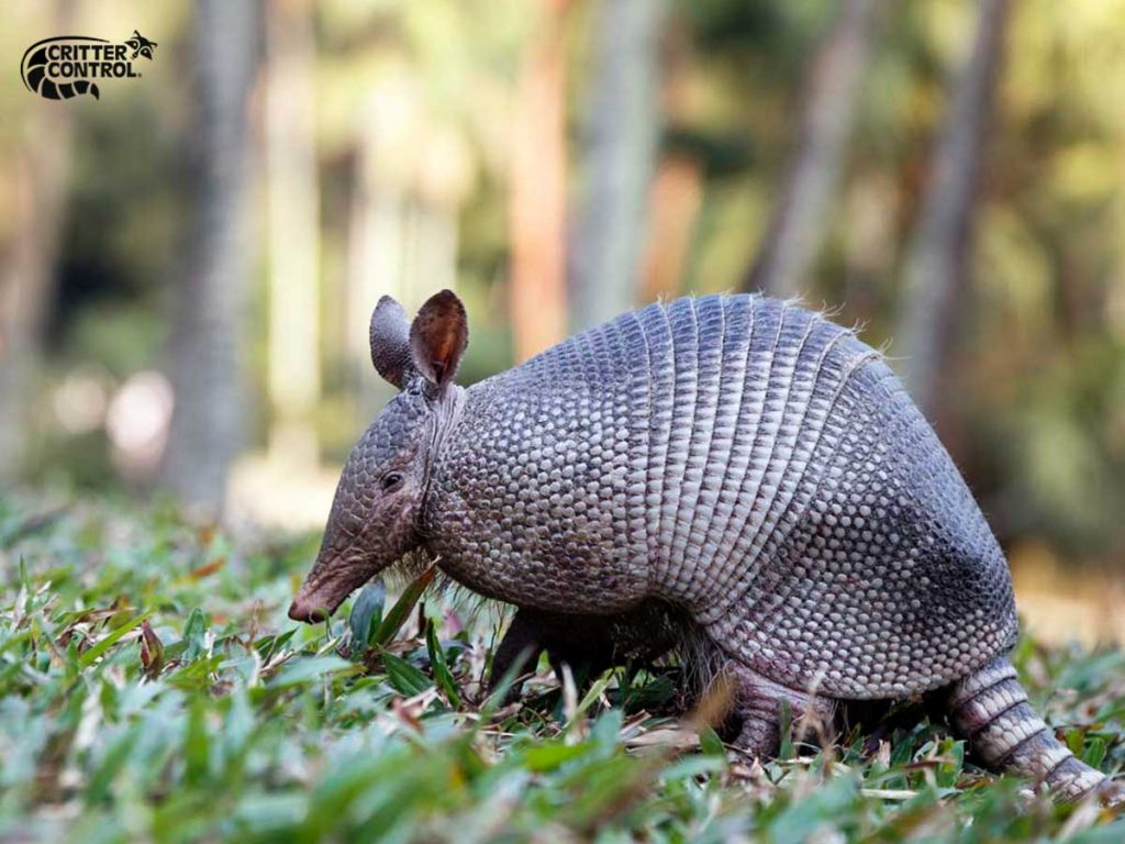 How Much Does Armadillo Removal Cost?