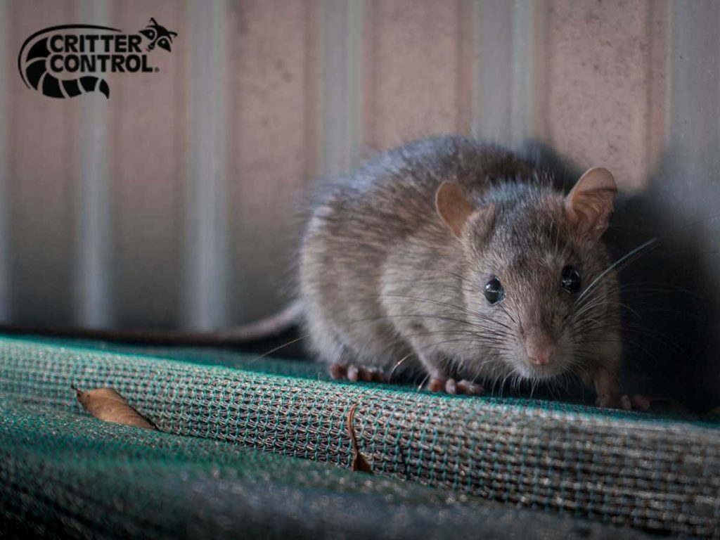 How to Keep Rats Out of Your Lake County Home?