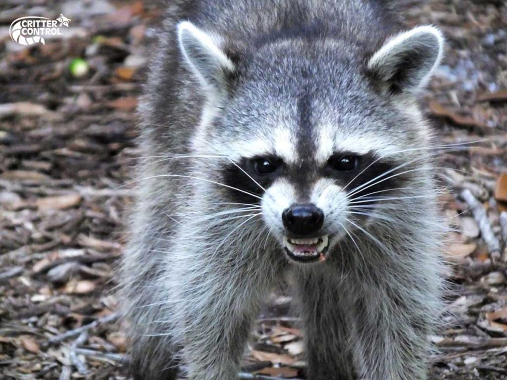 How to Stop Raccoons from Getting into My Trash