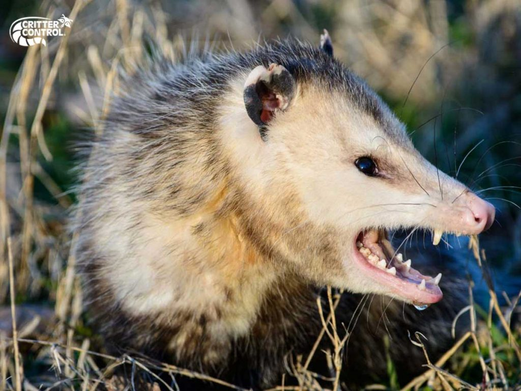 10 Opossum Facts You Didn't Know