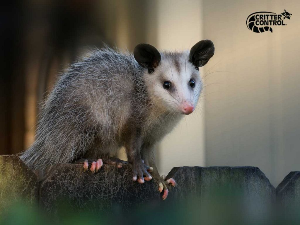 Opossum Removal in Lake County