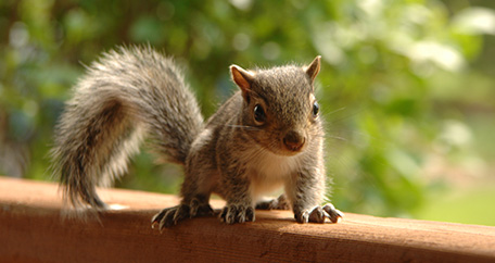 Photograph of a brown squirrel