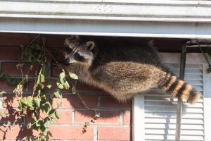Raccoon crawling on the side of a house looking for a way to get in