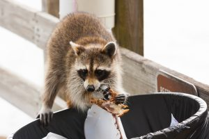 Raccoon standing over trash can eating food scraps