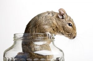 Rat standing inside a glass jar