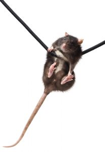 Rat hanging on a cord by it's front two feet