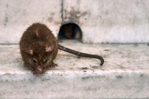 Rat Removal Clermont | Trapping | Control | Exterminator