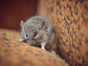 Rat in sofa cushions