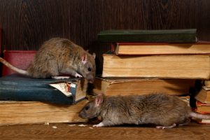 Rats eating old books