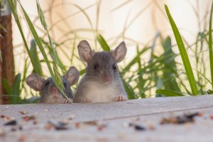 Rats standing in grass looking onto a sidewalk for food