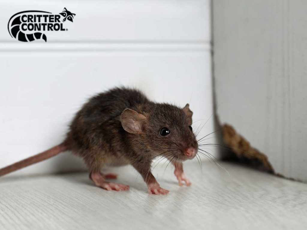 Rodent Removal in Clermont