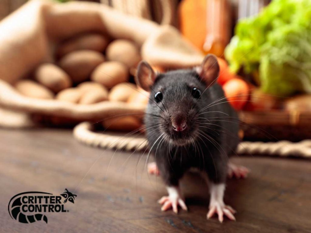 Rodent Removal in Groveland