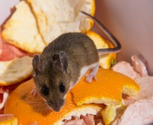 Mount Dora Mice Removal