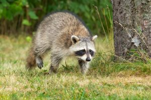 Raccoon Removal The Villages | Trapping | Control | Exterminator
