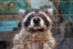 Mount Dora Raccoon Removal