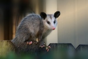 Opossum Removal in Clermont