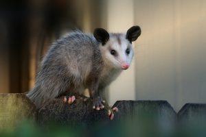 Opossum Removal Mount Dora | Trapping | Control | Exterminator