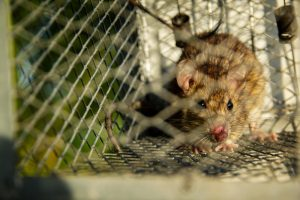 Rat Removal The Villages | Trapping | Control | Exterminator