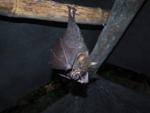 Bat Removal Clermont | Trapping | Control | Exterminator