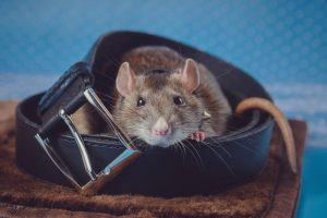 Common Property Damage Caused by Rats