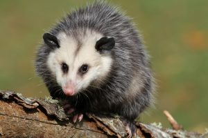 Opossum Removal in The Villages
