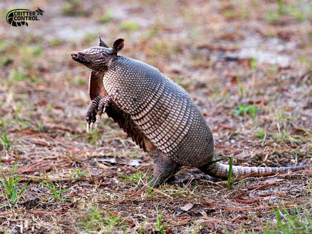 5 Ways to Prevent Armadillos From Digging up My Yard