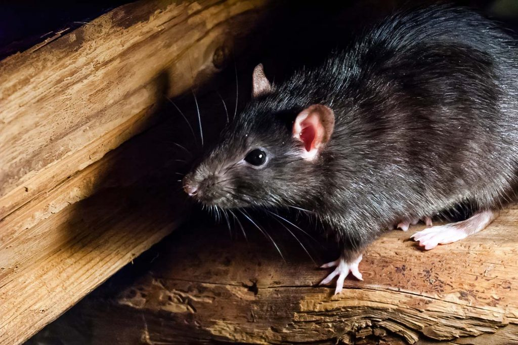 What Does a Rat Exterminator Do?